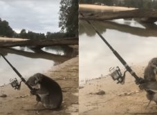 Un día normal captan a koala pescando con caña (VIDEO)